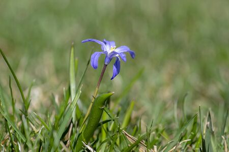 Scilla luciliae blue small springtime flowers in the grass, close up view bulbous flowering plant in the park Stock fotó