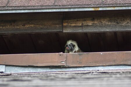 Saguinus oedipus cotton-top tamarin animal on rooftop, one of the smallest primates playing, very funny monkeys with brown and white hair