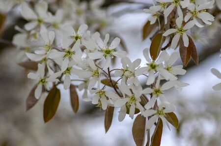 Amelanchier lamarckii deciduous flowering shrub, group of white flowers on branches in bloom, snowy mespilus plant cultivar