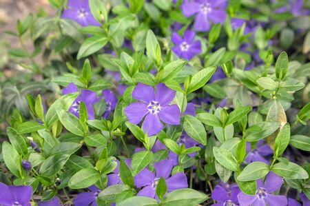 Vinca minor lesser periwinkle ornamental flowers in bloom, common periwinkle flowering plant, creeping ground flowers