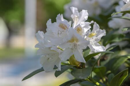 Rhododendron Madame Masson white flowers with yellow dots in bloom, flowering evergreen shrub, green leaves in sunlight Stock fotó - 140563138