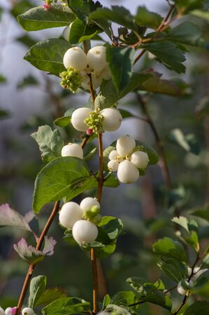 Detail of snow berries white on Symphoricarpos albus branches, beautiful ornamental ripened autumnal white fruits, green leaves Stock fotó