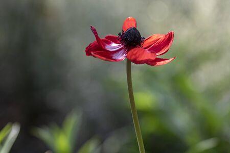 Beautiful red white black ornamental anemone coronaria de caen in bloom, bright colorful flowering springtime plant in the garden