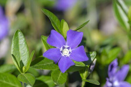 Vinca minor lesser periwinkle ornamental flowers in bloom, common periwinkle flowering plant, creeping blue flowers green leaves Stock fotó