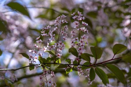 Prunus padus colorata pink flowering cultivar of bird cherry hackberry tree, hagberry mayday tree in bloom, ornamental park flowers on branches and red green leaves Stock fotó