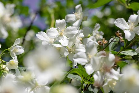 Philadelphus coronarius sweet mock-orange white flowers in bloom on shrub branches, flowering English dogwood wild ornamental plant, green leaves Stock fotó - 140610517