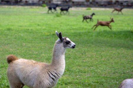 Young baby llama Lama glama portrait, beautiful hairy animal with amazing big eyes, light cream brown white color, domesticated camelid watching running other animals