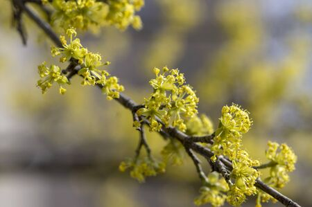 Cornus mas european cornel tree branches during early springtime in bloom, Cornelian cherry dogwood flowering with bright yellow flowers in sunlight Stock fotó