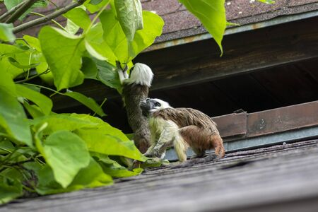 Saguinus oedipus cotton-top tamarin animal on rooftop, one of the smallest primates playing, very funny monkeys with brown and white hair Stock fotó