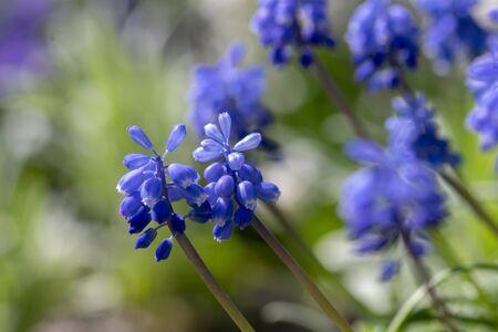 Muscari armeniacum flowering plant, blue spring bulbous grape hyacinth flowers in bloom in the garden, green foliage Stock fotó - 140610476