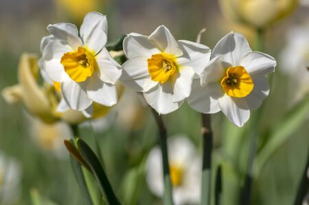Narcissus tazetta early springtime flowerin plant in ornamental garden with red and yellow tulips, paperwhite bunch-flowered daffodil chinese sacred lily in bloom