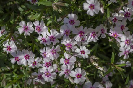 Creeping moss phlox subulata flowering small plant, beautiful flowers carpet of mountain phlox flowers in bloom, ground covering perennials with purple white petas on green background
