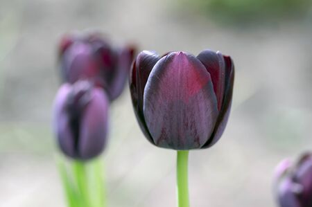 Beautiful dark purple flowering tulips in springtime garden, early tulipa gesneriana flowers in bloom, flowers bunch in the garden