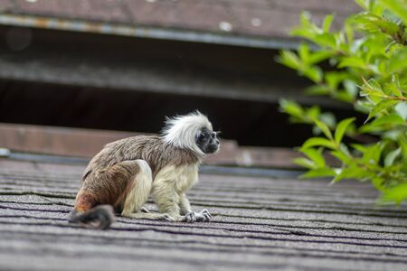 Saguinus oedipus cotton-top tamarin animal on rooftop, one of the smallest primates playing, very funny monkeys with brown and white hair 版權商用圖片