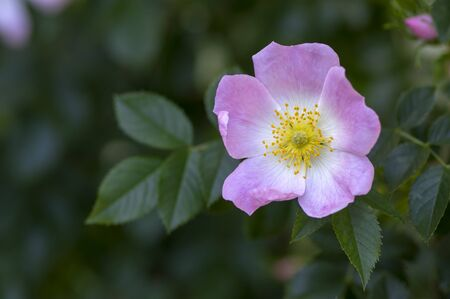 Dog rose Rosa canina light pink flowers in bloom on branches, beautiful wild flowering shrub, green leaves