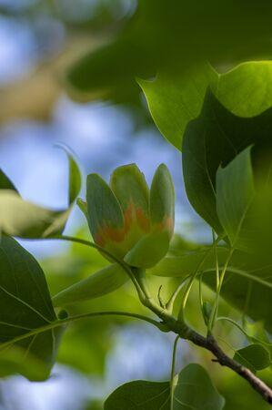 Liriodendron tulipifera flowering ornamental beautiful tulip tree, tulipwood in bloom during late springtime, green leaves