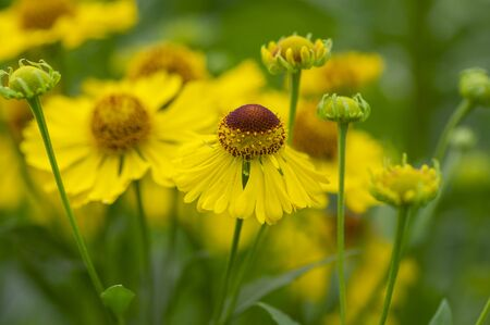 Helenium autumnale common sneezeweed in bloom, bunch of yellow brown flowering flowers, green leaves