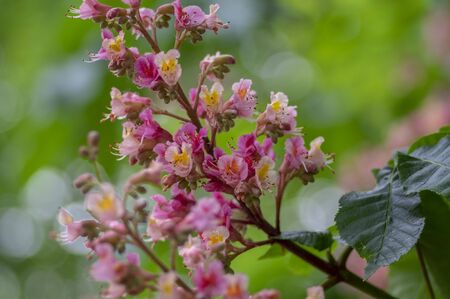 Aesculus carnea pavia red horse chestnut flowers in bloom, bright pink flowering ornamental tree, green leaves 版權商用圖片