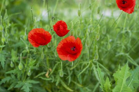 Papaver rhoeas common poppy seed bright red flowers in bloom, group of flowering plants on meadow, wild field plants 版權商用圖片