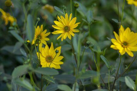 Helianthus tuberosus yellow Jerusalem artichoke sunflower flowers in bloom, beautiful food flowering plant, green leaves