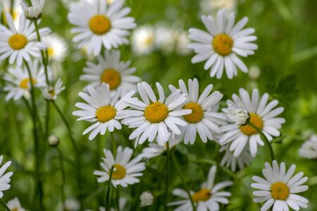 Leucanthemum vulgare meadows wild oxeye daisy flowers with white petals and yellow center in bloom, flowering beautiful plants on late springtime amazing green field
