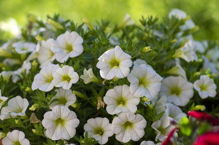 Calibrachoa million bells beautiful flowering plant, group of white flowers in bloom, ornamental pot balcony plant, green leaves