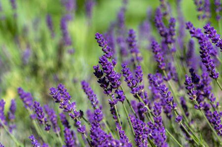 Lavandula angustifolia bunch of flowers in bloom, purple scented flowering plant, field of flowers 스톡 콘텐츠