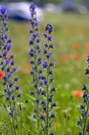 Echium vulgare vipers bugloss blueweed wild flowering plant, group of blue flowers in bloom on tall flowers stem, green leaves