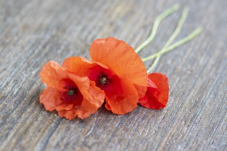 Papaver rhoeas common poppy seed bright red flowers in bloom on brown wooden background, stem and petals