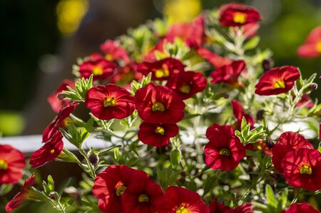 Calibrachoa million bells beautiful flowering plant, group of red flowers in bloom, ornamental pot balcony plant, green leaves