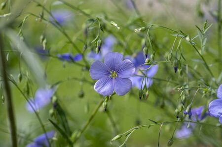 Linum usitatissimum linseed flowering ornamental garden plant, group of beautiful blue common flax flowers in bloom, green leaves