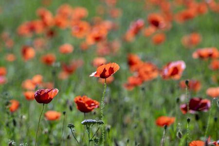 Papaver rhoeas common poppy seed bright red flowers in bloom, group of flowering plants on meadow, wild field plants