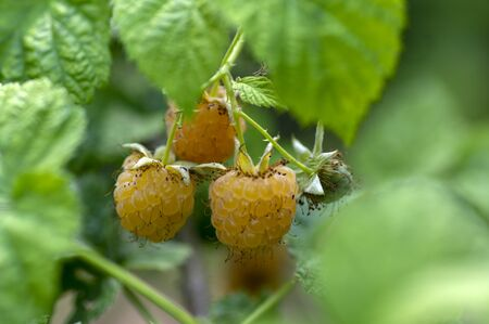 Rubus idaeus Golden Queen yellow raspberries on shrub branches, bunch of tasty ripened fruits, green leaves Stock Photo