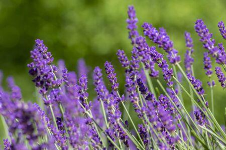 Lavandula angustifolia bunch of flowers in bloom, purple scented flowering plant, field of flowers