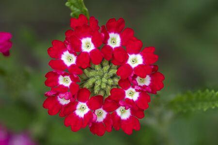 Verbena hybrida vervain ornamental colorful garden flowers in bloom, beautiful flowering plants, green leaves, corona shape