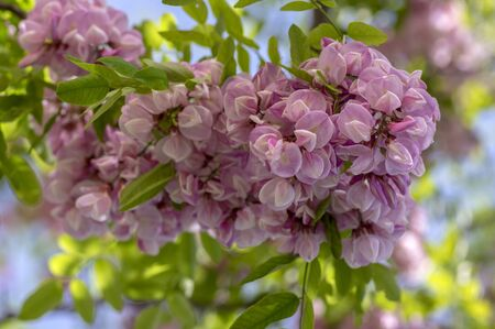 Robinia pseudoacacia ornamental tree in bloom, pink white color purple robe cultivation flowering bunch of flowers, green leaves