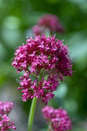 Centranthus ruber flowering plant, bright red pink flowers in bloom, green stem and leaves, beautiful ornamental flower Standard-Bild