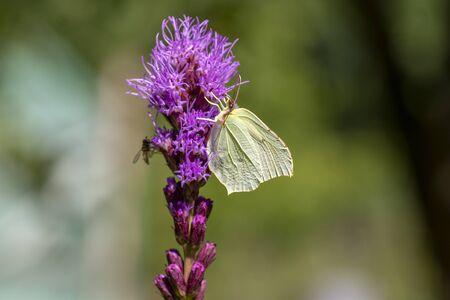 Gonepteryx rhamni butterfly sitting on Liatris spicata deep purple flowering flowers, beautiful animal with yellow white wings Reklamní fotografie