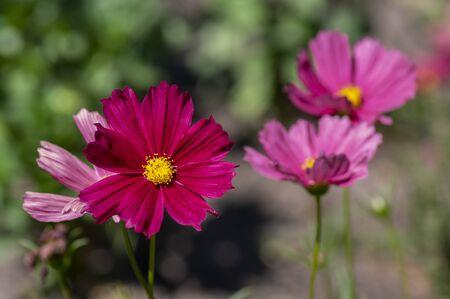 Cosmos bipinnatus beautiful pink purple flowering plant, garden cosmos flowers in bloom in sunlight