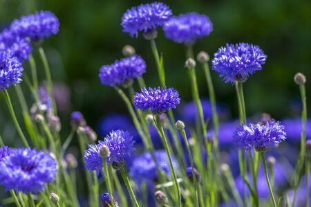 Centaurea cyanus blue cultivated flowering plant in ornamental garden, group of beautiful cornflowers flowers in bloom