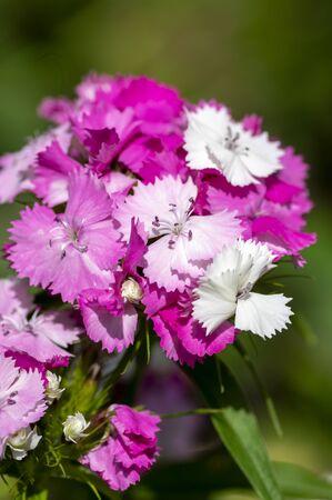 Dianthus barbatus beautiful ornamental flowering plants, group of bright pink purple white flowers in bloom, green leaves Standard-Bild