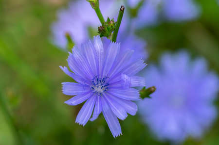 Cichorium intybus chicory blue flowering flowers on green stem, common blue daisy dandelion in bloom, wild plant Standard-Bild