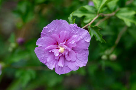 Hibiscus syriacus syrian ketmia ornamental flowering plant, violet purple flowers in bloom, shrub with green leaves on branches