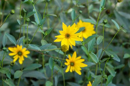 Achillea filipendulinayarrow nosebleed bright yellow flowers in bloom, ornamental flowering plant, bouquet on tall green stem
