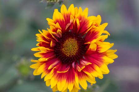 Gaillardia aristata beautiful flowering wild plant, red and yellow petals, blanketflower in bloom, cultivated garden ornamental flower