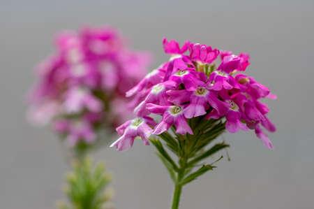 Verbena hybrida vervain ornamental colorful garden flowers in bloom, beautiful flowering plants, green stem