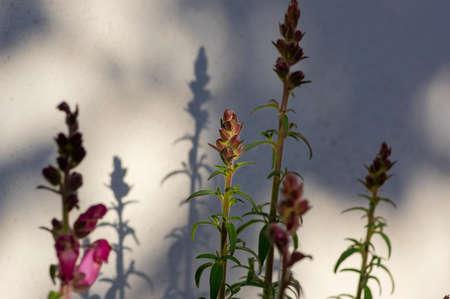 Antirrhinum majus bright colorful flowering plant, group of snapdragon flowers in bloom on green stem