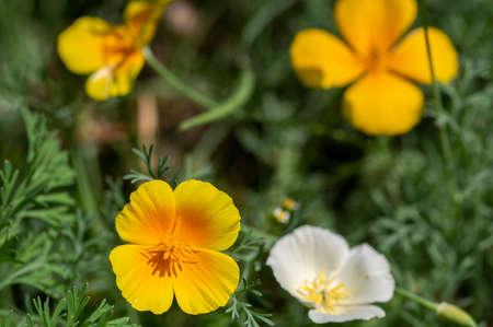 Eschscholzia californica cup of gold flowers in bloom, californian field, ornamental wild flowering plants on a meadow, green leaves