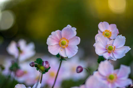 Anemone hupehensis japonica beautiful flowerin plant, flowers with pale pink petals and yellow center in bloom, bunch of nice plants