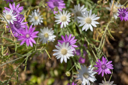 Xeranthemum annuum white and violet immortelle flowers in bloom, group of flowering plants in the garden, used for dry decorations Standard-Bild